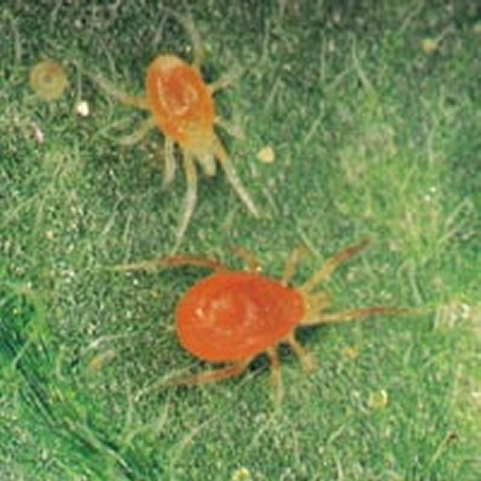 Red spider mites - photo#19