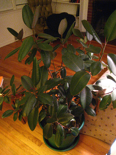 How To Take Care Of An Indoor Rubber Plant Garden Guides