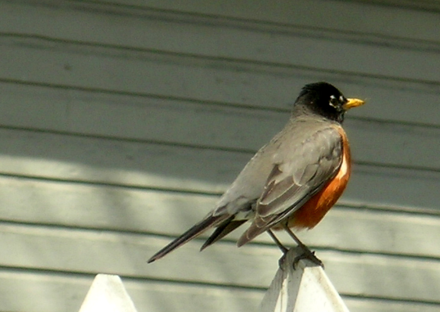 How Long For Robins To Mature 119