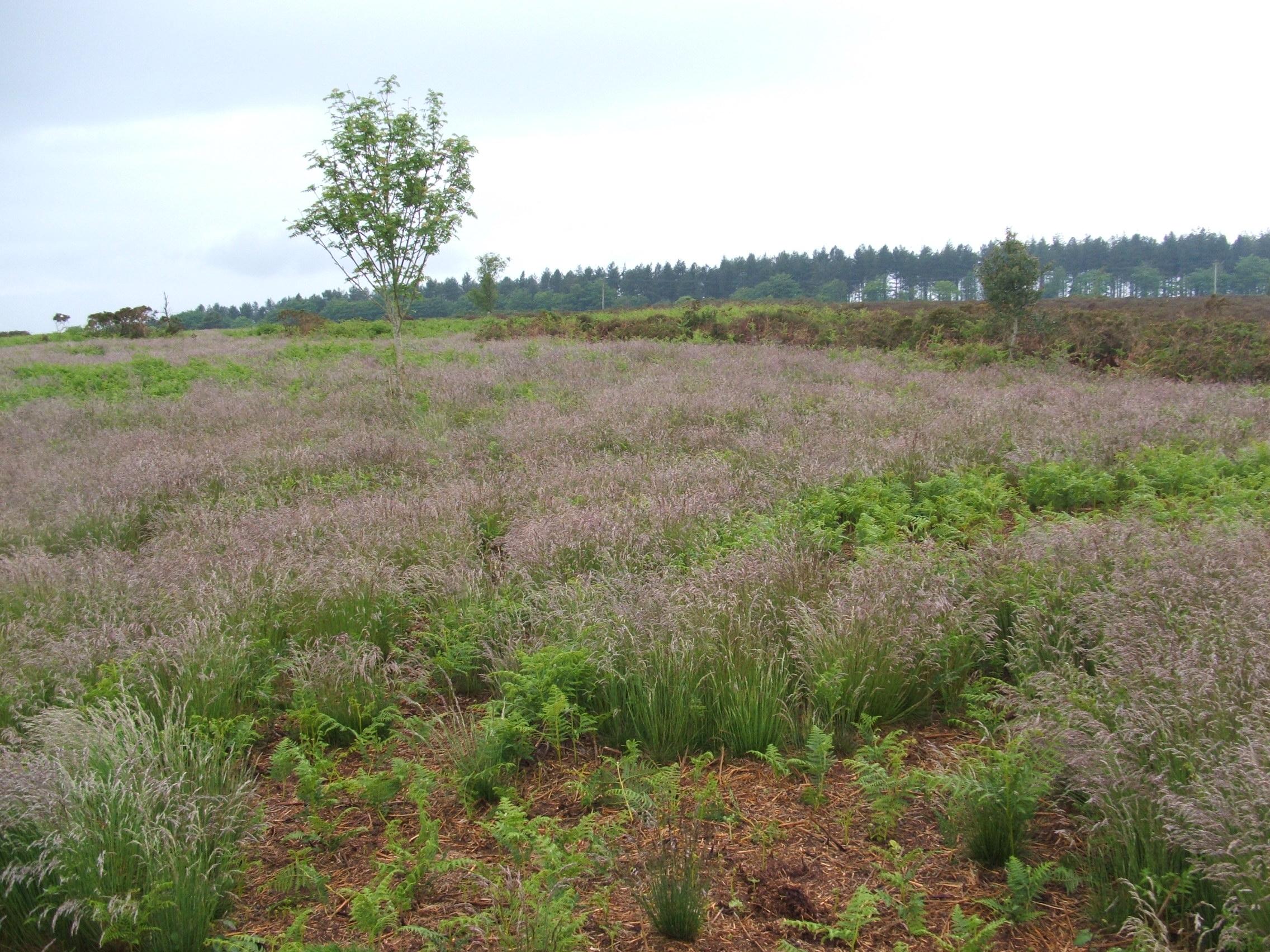 how to grow purple moor grass