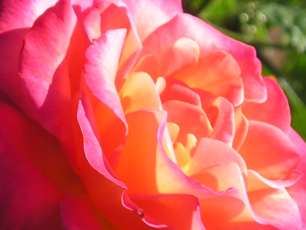 Types of Roses | Garden Guides